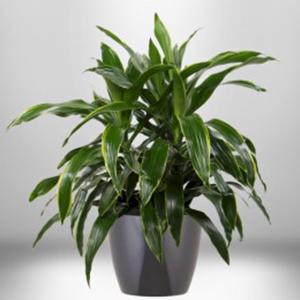 dracaena janet craig plant