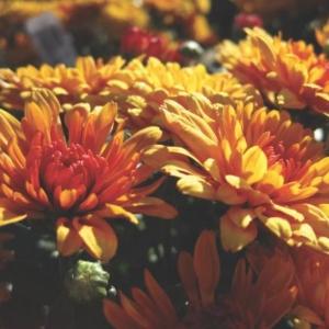 garden mum plant