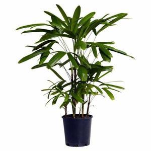 lady palm plant