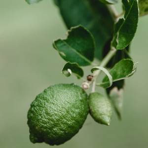 lime plant