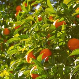 red mandarin plant