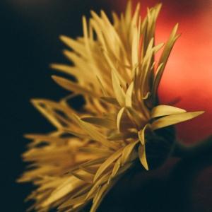 helichrysum flower closeup photography