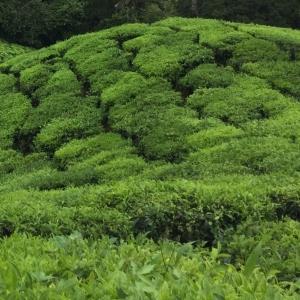 tea tree plantation photo
