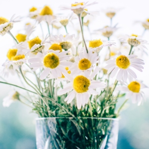 white chamomile flowers
