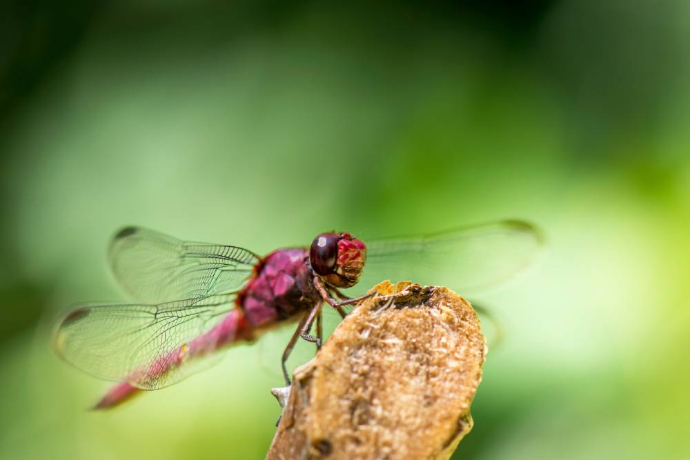 dragonfly-ultraviolet